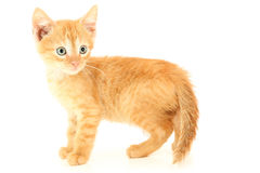 Beautiful Brown Orange Kitten with Hazel Eyes Royalty Free Stock Photography