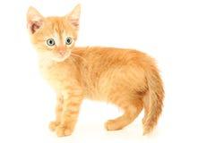 Beautiful Brown Orange Kitten with Hazel Eyes. Standing royalty free stock photography