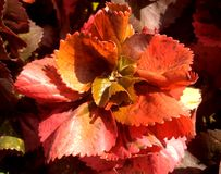 Beautiful brown orange leaves of decorative plant.  royalty free stock photos