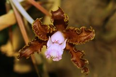 Beautiful  brown  orchid flower. Wonderful isolated brown orchid flower. Macro lens. Close up Stock Photos