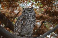 Beautiful Brown Owl Stock Images