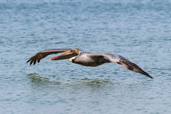 The Beautiful Brown Pelican Royalty Free Stock Photo