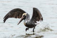 The Beautiful Brown Pelican Stock Image