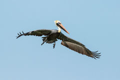 The Beautiful Brown Pelican Stock Photos