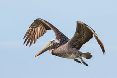 The Beautiful Brown Pelican Royalty Free Stock Photography