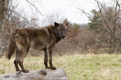 Brown Phase Gray Wolf Standing on a Log Royalty Free Stock Photo