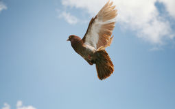 Beautiful brown pigeon in flight. Beautiful brown pigeon flying, blue sky background royalty free stock photos