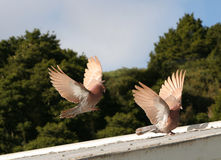 Beautiful brown pigeons landing. Two beautiful brown pigeons coming in to land on the roof of a shed stock photos
