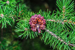 A beautiful brown pine cone Stock Photography