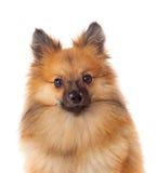 Beautiful brown Pomeranian dog Royalty Free Stock Photography