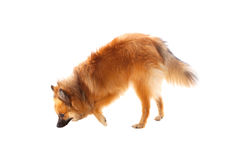 Beautiful brown Pomeranian dog Royalty Free Stock Images