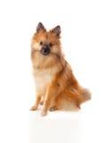 Beautiful brown Pomeranian dog Royalty Free Stock Image