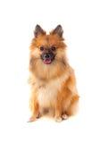 Beautiful brown Pomeranian dog Stock Images
