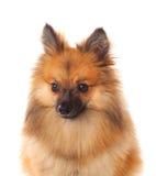Beautiful brown Pomeranian dog Stock Photography