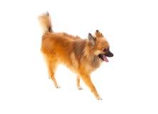 Beautiful brown Pomeranian dog Stock Photos