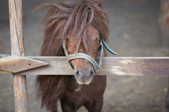 Beautiful brown pony behind a wooden fence Stock Photos