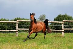 Running brown quarter horse stock photos