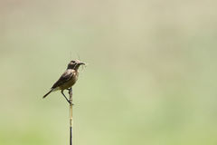 Beautiful brown rock chat on a bamboo stick Royalty Free Stock Photos