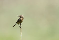 Beautiful brown rock chat with straw in mouth Stock Image