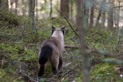 Beautiful brown siamese cat walking in green forest Royalty Free Stock Photo