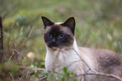 Beautiful brown Siamese female cat on green background, portrait Royalty Free Stock Image