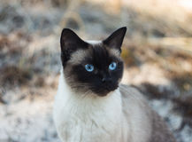 Beautiful brown Siamese female cat on sandy background, portrait Royalty Free Stock Photo