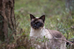 Beautiful brown Siamese female cat on woody background, portrait Stock Image