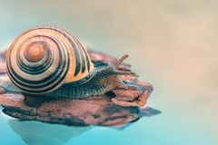 Beautiful brown snail floating. On water royalty free stock photo