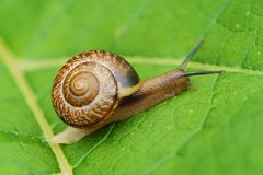 Beautiful brown snail on green leaves. View Stock Images