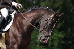 Beautiful brown sport horse portrait Stock Photography