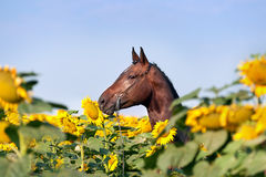 Beautiful Brown Sports Horse With Braided Mane In Halter Standing In The Field With Large Yellow Flowers Which His Shield. Royalty Free Stock Photo