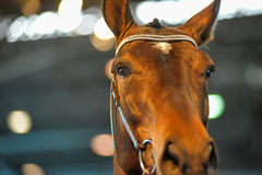 Beautiful brown stallion portrait Royalty Free Stock Image