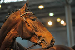 Beautiful brown stallion portrait Stock Images