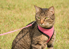 Beautiful brown tabby cat in harness and leash. With summer green background Royalty Free Stock Images