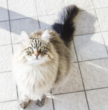 beautiful brown tabby cat of siberian breed,looking up for playi Stock Images