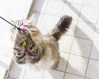 beautiful brown tabby cat of siberian breed,looking up for playi Stock Image