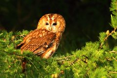 Beautiful brown tawny owl. Tawny owl Strix aluco in evening light stock photography