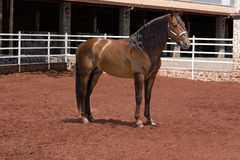 Beautiful Brown thoroughbred Arabian Horse outside Royalty Free Stock Image