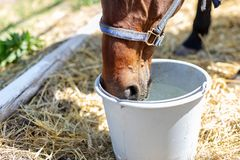 Beautiful brown thoroughbred horse drinking water from bucket. Thirst during hot summer day. Thirsty animal at farm.  royalty free stock photos