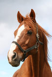 Beautiful brown thoroughbred horse head at farm Royalty Free Stock Image