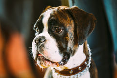 Beautiful Brown And White Boxer Dog Royalty Free Stock Image