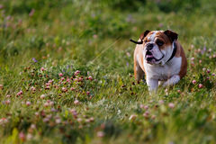Beautiful brown-and-white bulldog walking on nature Royalty Free Stock Photography