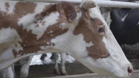 Beautiful brown and white cow on a farm close-up. Agriculture industry, farming and animal husbandry concept. A mammal. Standing in a stable on dairy farm stock video