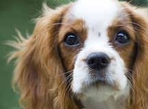 Cavalier King Charles Spaniel, beautiful red-haired dog. Beautiful brown white dog portrait King Charles Charles dog royalty free stock photo
