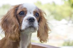Beautiful brown white dog portrait Cavalier King Charles Spaniel. Beautiful brown white dog portrait King Charles Charles dog, close-up face photo stock images