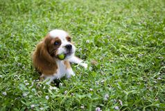 Cute little Cavalier King Charles Spaniel posing for the camera. Beautiful brown white dog portrait King Charles Charles dog posing for the camera royalty free stock photography