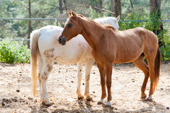 Beautiful brown and white horses Stock Photo