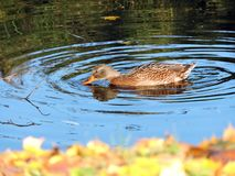 Brown wild duck in lake, Lithuania Stock Photos
