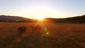 Beautiful Brown Wild Horses Grazing in a Field. Aerial Cinematic View of Walking Horses. Amazing Golden Sunset with. Camera Lens Flare Effect. HD Slowmotion stock footage