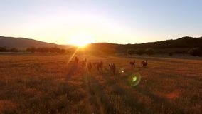 Beautiful Brown Wild Horses Grazing in a Field. Aerial Cinematic View of Walking Horses. Amazing Golden Sunset with. Camera Lens Flare Effect. HD Slowmotion stock video